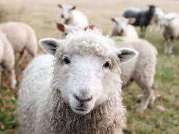 無料写真] 近寄る羊 - パブリックドメインQ:著作権フリー画像素材集